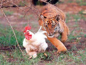 год петуха 2017 для тигра